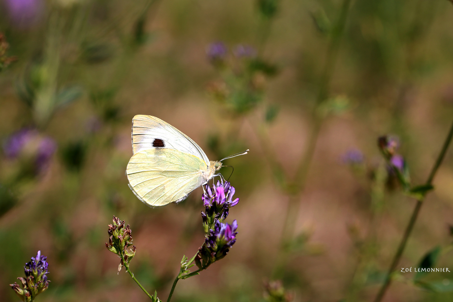 papillon blanc.jpg