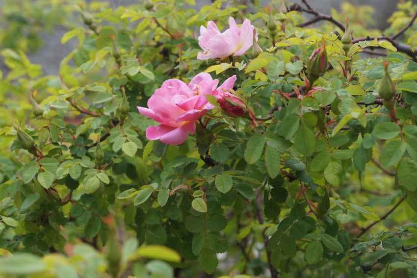 mai17-roses1.jpg