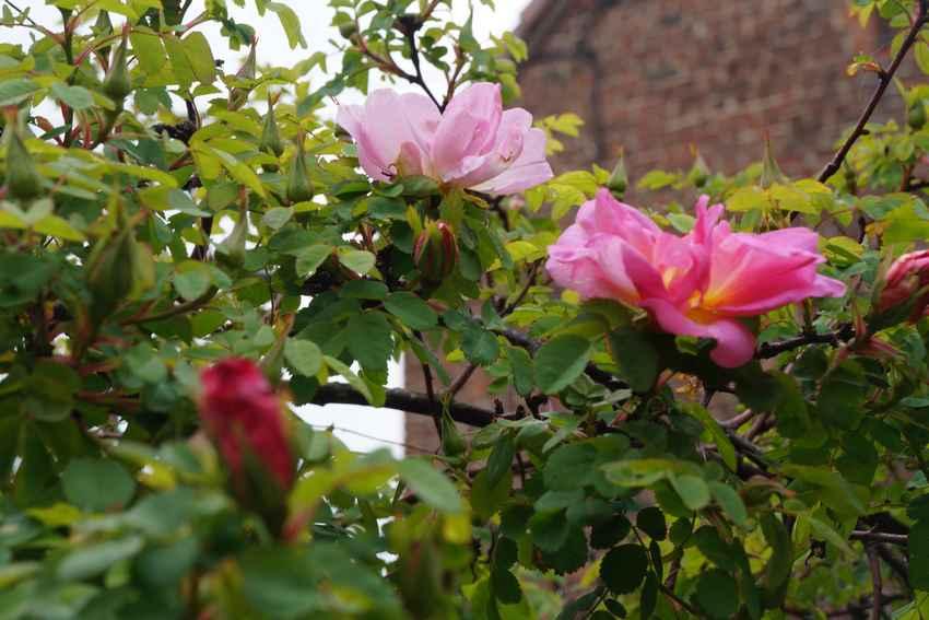 mai17-roses2.jpg