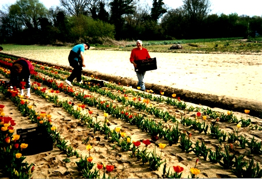 La cueillette des tulipes 1