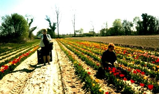 La cueillette des tulipes 2