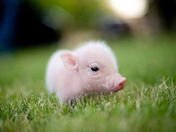 Cochon trop mignon pawcute prot geons les animaux - Image de cochon mignon ...