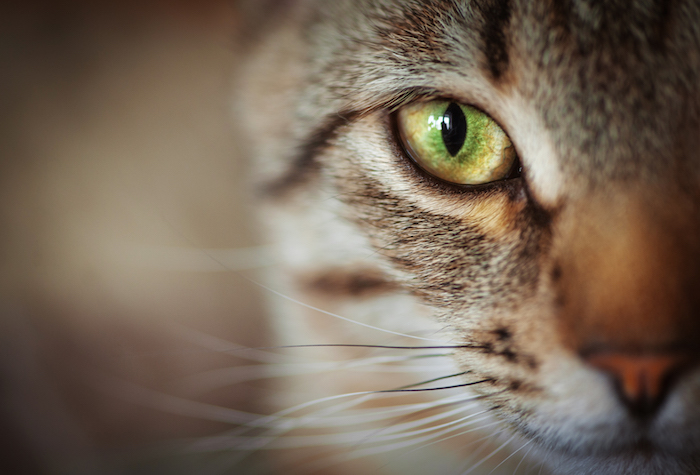 chat-Animal-Totem-1.jpg