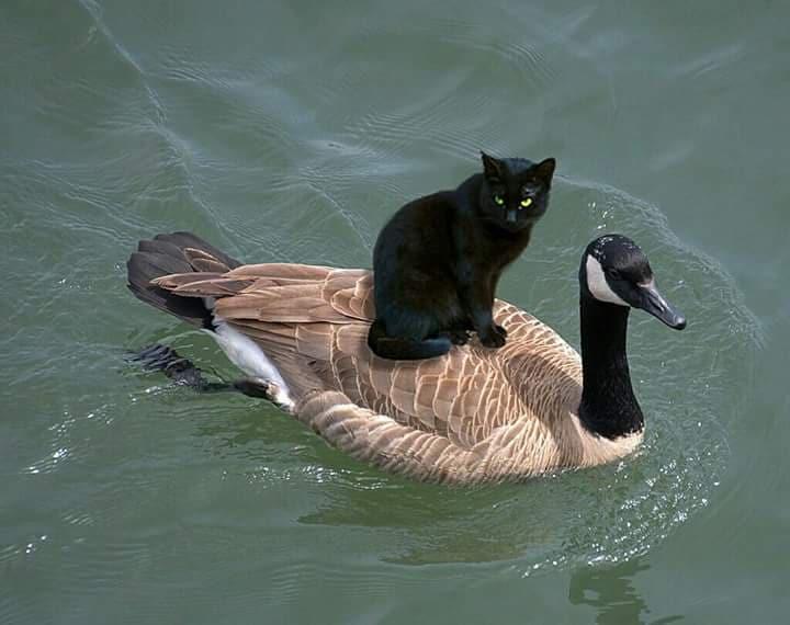 chat sur canard.jpg