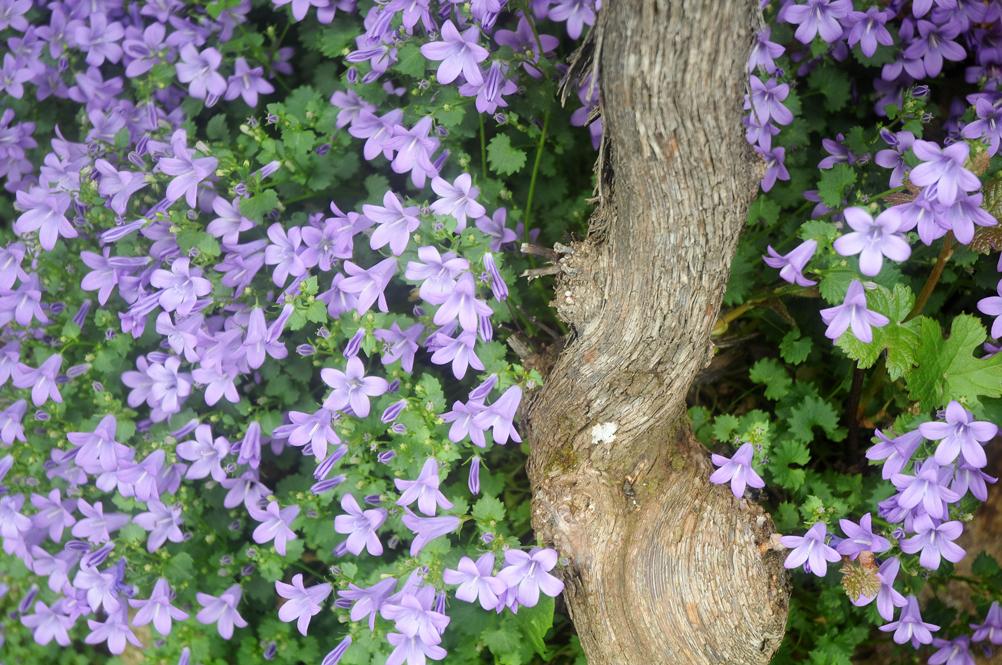 Blog 07 - Cep de vigne et massif de fleurs violettes.jpg