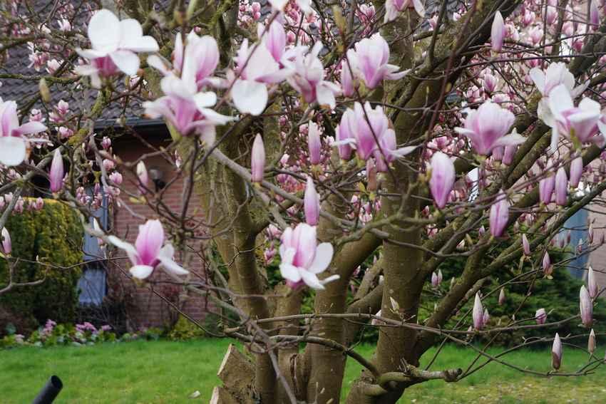 magnolia27mars1.jpg