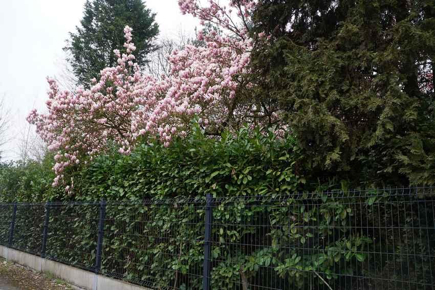 magnolia28mars19-1.jpg