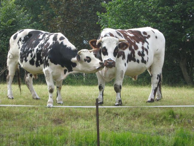 Pays de Bray, pays d'élevage