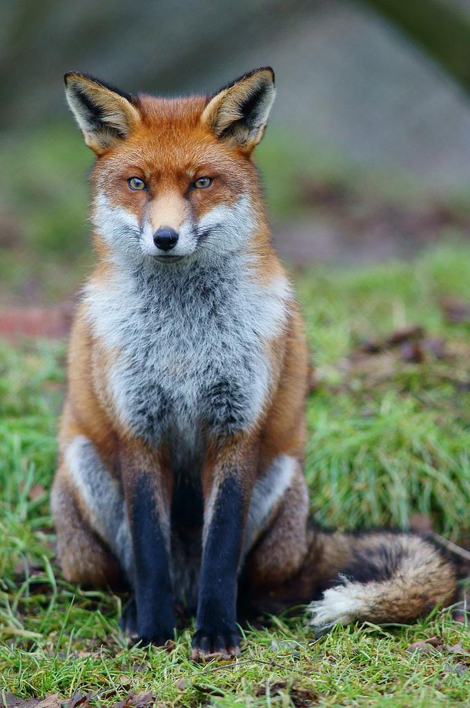 Fox_study_6