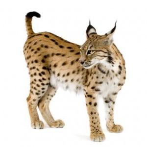 Lynx-300x300