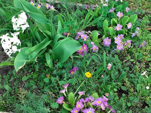 violettes & jacinthes