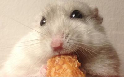 Le petit hamster russe