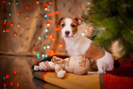 32835883-chien-jack-russell-terrier-à-l-arbre-de-noël-cheminée-en-vacances