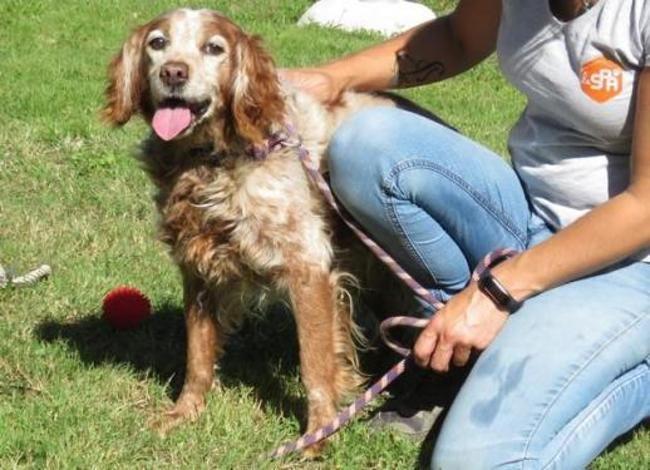 chien-epagneul-breton-adopter-473457-4