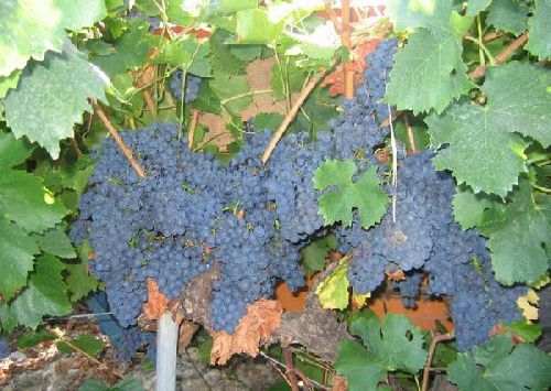 VENDANGES A CAIRANNE
