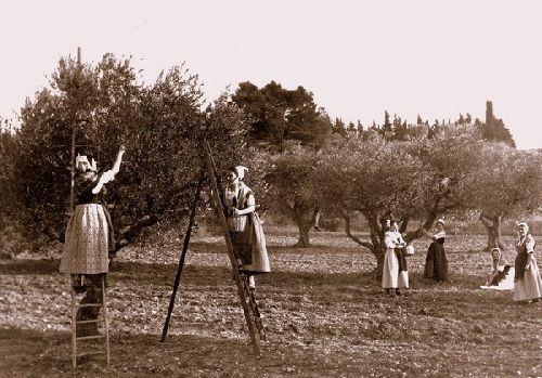 cueillettes des olives.