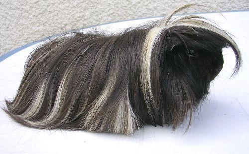 MINUIT: 1 an 1/2, (né fin 2006)  mon péruvien et seul mâle, un gentil gros pèpère...