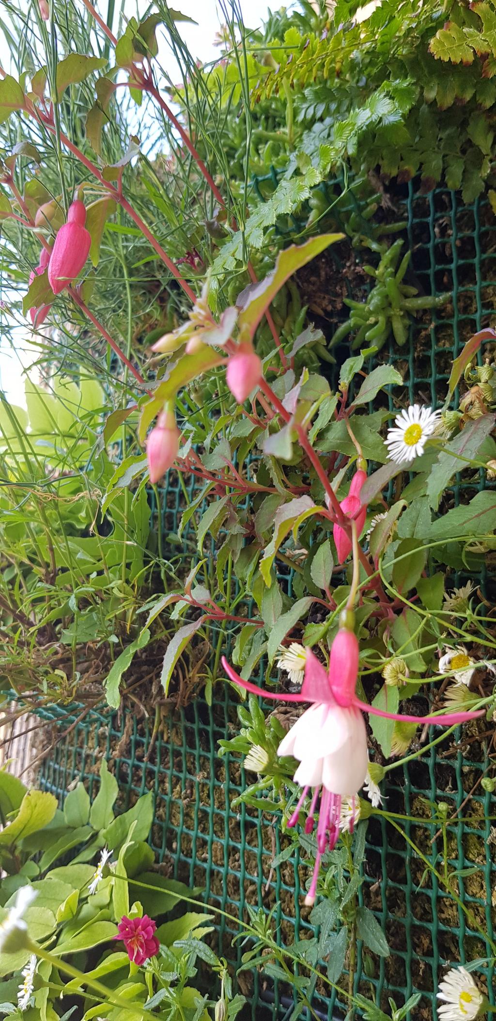Fuchsia 3 juin 18