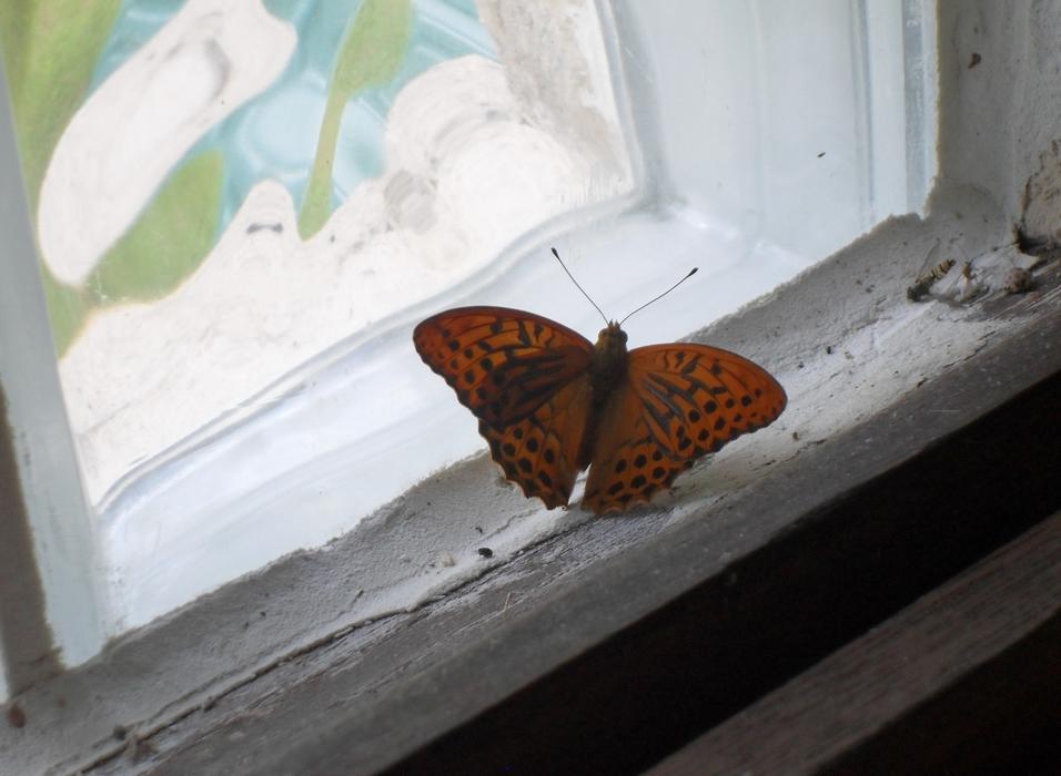 Papillon. F.M